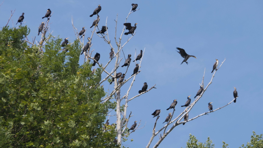 Many birds on the tree.. Slow motion. Birds Geese flying in formation, Blue sky background. Migrating Greater bird flying in Formation. Flock of Birds on branch. | Shutterstock HD Video #1033223255