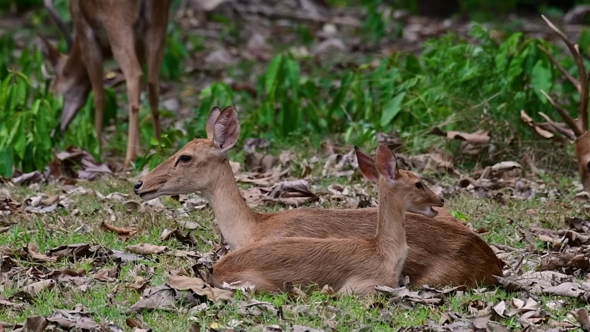 The Eld's Deer is an Endangered species due to habitat loss and hunting;  | Shutterstock HD Video #1033274435