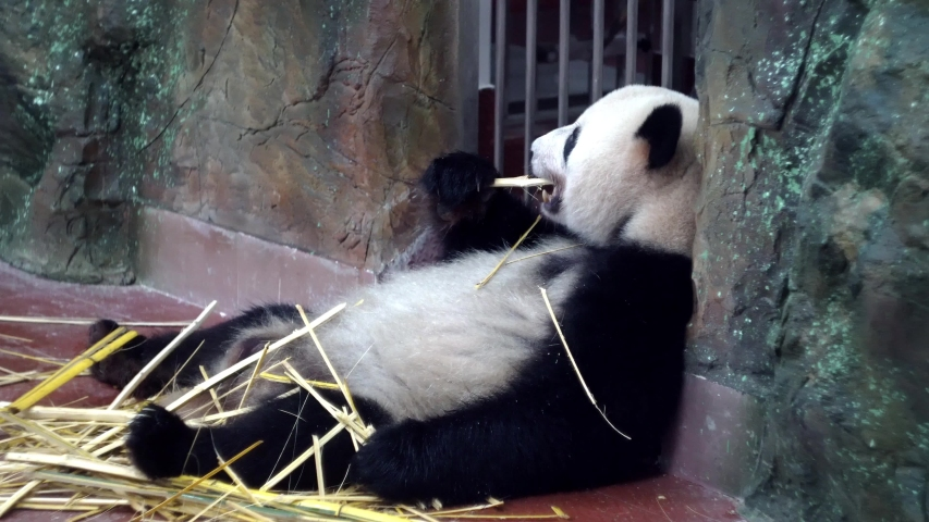 Cute Panda eating bamboo stems at zoo. Media. Lazy Panda lying and powerful teeth bite tough bamboo stalks. Charming Panda chews bamboo sticks slurping and enjoying every bite | Shutterstock HD Video #1033287395