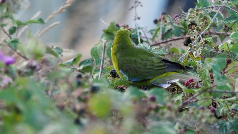 Green Rosella - Platycercus caledonicus or Tasmanian rosella is a species of parrot native to Tasmania and Bass Strait islands