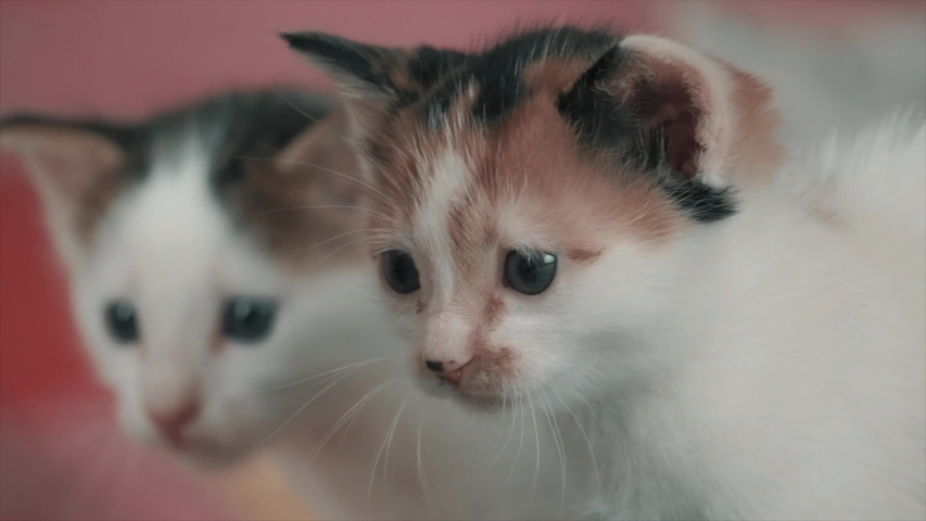 Lovely kitten is looking environment. Baby white cat is beautiful and funny. | Shutterstock HD Video #1033733765