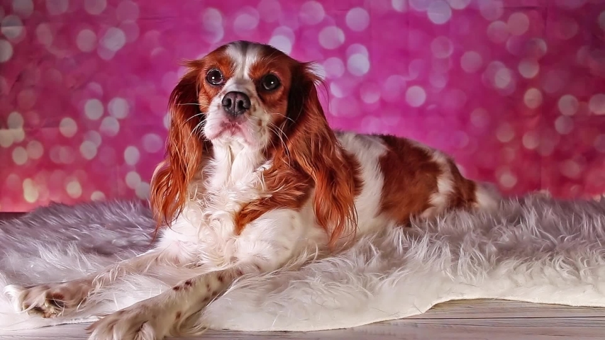 Cute Cavalier king charles spaniel puppy dog | Shutterstock HD Video #1034169935