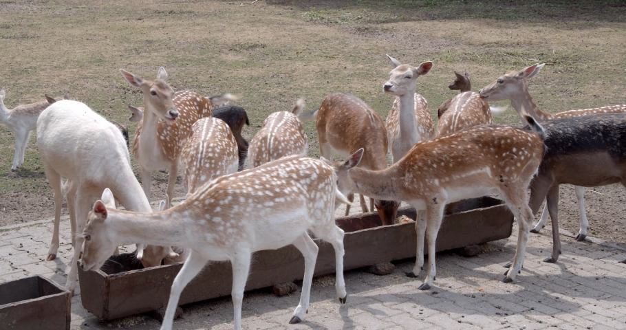 A group of deer and fawns eating from a trough in a forest wild park | Shutterstock HD Video #1034302745
