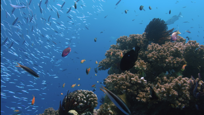 Purple and Orange Anthias drift in the current Next to Gorgeous Coral Bommie. Great Barrier Reef. Australia. Slow motion. Shot with RED Camera. POV Shot. | Shutterstock HD Video #1034407145