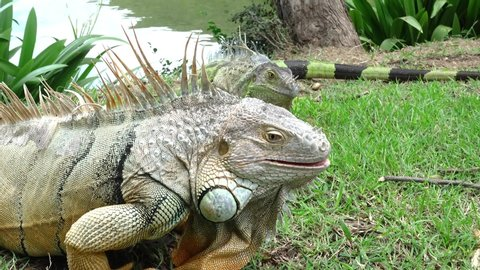 Green iguana also known as the American iguana is a lizard reptile in the genus Iguana in the iguana family. And in the subfamily Iguanidae.