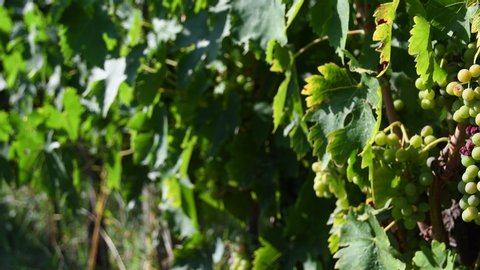 Close up on bunch of young white grapes in a green vineyard in the Chianti region of Tuscany in the countryside near Florence. Summer season. Italy. Pan effect, 4K UHD Video.