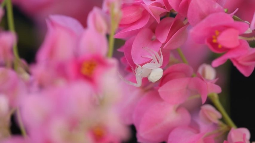 White spider on soft and blurred focus pink flowers. | Shutterstock HD Video #1034518115