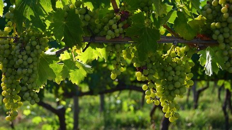 Bunches of white grapes in a Chianti vineyard on a sunny day in the countryside near Florence in the summer. Tuscany, Italy. 4K UHD Video.