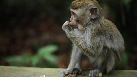 A Balinese Long-Tailed monkey at the Sacred Monkey Forest in Bali, Indonesia snacking on some food given to him by a tourist.