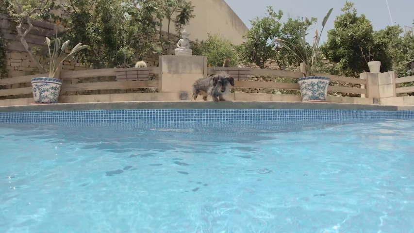 Perfect first person view as long haired dachshund family pet leaps in to the swimming pool to play. Slow motion. | Shutterstock HD Video #1035039275