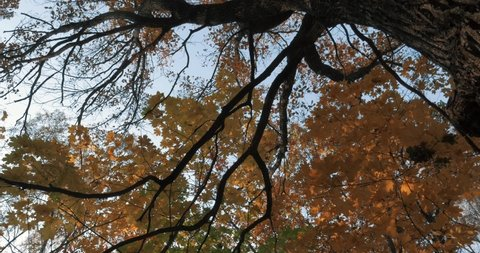 Oaks trees are autumn view in city Park or in village in forest. Yellow leaves swaying in the wind, calm weather. Look up, not a strong wind. Scary oak branches in 4k