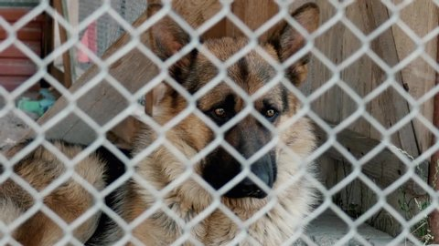 A sad dog sits locked in a metal cage. German Shepherd. He looks sadly down. View through a metal grid. Shot on the face.