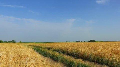 golden wheat field against a blue sky