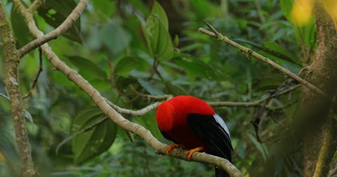 Cock-of-The-Rock Rupicola peruvianus, bright red bird with fan-shaped crest perched on branch, environment of tropical rainforest, Mindo, Ecuador. National bird of Peru. Wildlife nature.