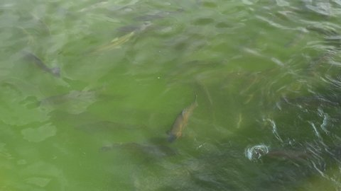 close-up, a flock of rainbow trout swims in the water.