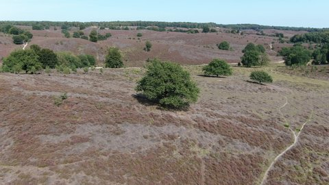 4k aerial video rotating around tree as focus point on purple flowering heath in national park the Veluwe
