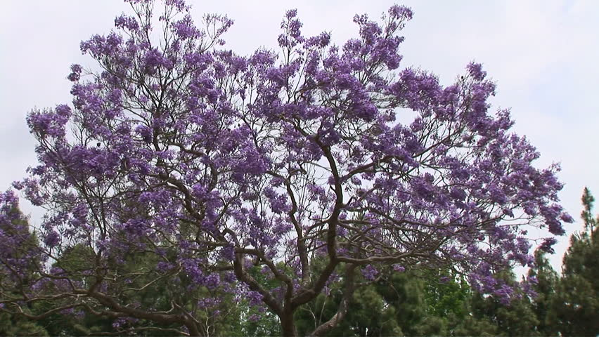 Jacaranda Trees With Purple Flowers