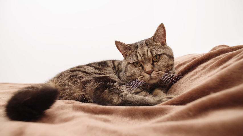 Cat on bed stretch the paw towards the camera 4K. Static wide shot of cat in focus looking towards the camera lying on brown bed. | Shutterstock HD Video #1036954805