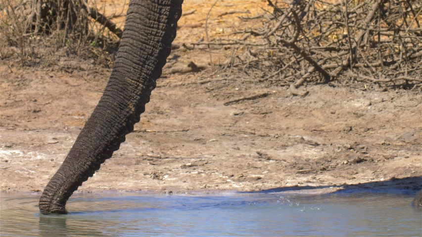 African Elephant Trunk in the water Close up, Africa Close shot of African Elephant Trunk in the water, Hwange National Park Zimbabwe  | Shutterstock HD Video #1037107295