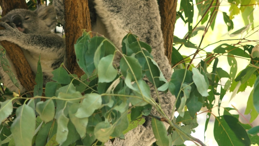 Cute Australian mother Koala with her joey in a tree resting during the day. | Shutterstock HD Video #1037172875