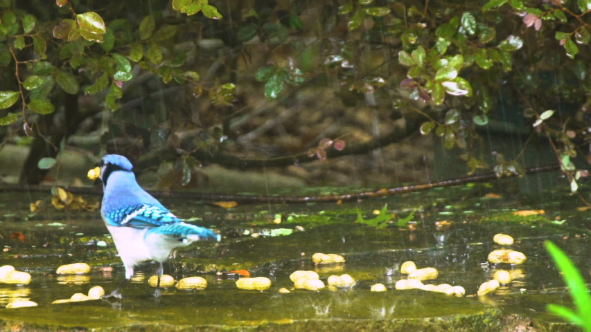 A beautiful bird called a blue jay enjoys a peanut and the water from a lawn sprinkler. | Shutterstock HD Video #1037211485