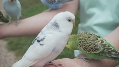Different Budgerigar Parrots (Melopsittacus undulatus) eating seeds in lady hand, very close shot