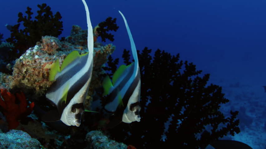 Closeup of a Schooling bannerfish, Heniochus diphreutes, Maldives, Indian Ocean, slow motion | Shutterstock HD Video #1037267285