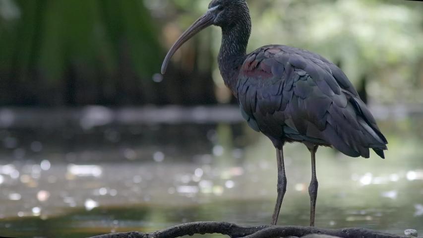 Juvenile dark ibis stalking creek | Shutterstock HD Video #1037278055