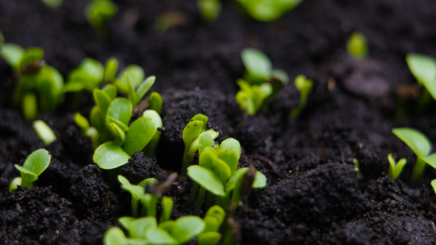 Germinating Seed Growing in Ground Agriculture Spring Summer Timelapse | Shutterstock HD Video #1037437055