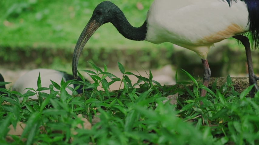 Close up sacred Ibis in the meadow. Bird eats insects, reptiles. Feeding  | Shutterstock HD Video #1037563745