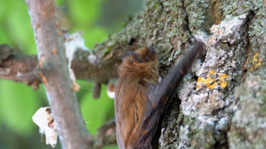 Bat Climbing up the Bark of a Tree. Summer Day. Cute brown bat crawls on a tree trunk in the daytime. Close-up of the muzzle, legs and hair. Slow Motion. | Shutterstock HD Video #1037619575