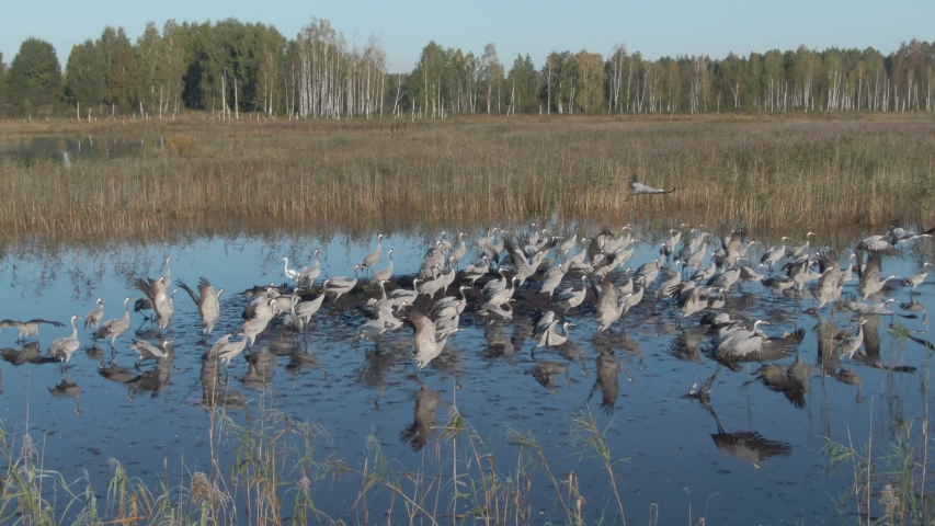 Common crane. Aerial view. Flock of birds take off from the water on a lake at sunrise. | Shutterstock HD Video #1037837525