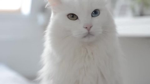 White turkish angora cat with different eyes. Say no
