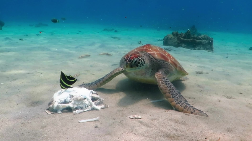Feeding sea turtle (Chelonia mydas), underwater video from scuba diving with marine animals. Hungry green sea turtle eating remains of shark on sea bottom. Tropical aquatic life in ocean. | Shutterstock HD Video #1038147695