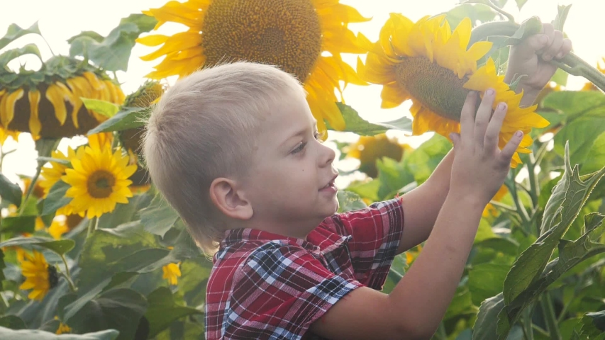 Little boy exploring a field with sunflowers happy family concept slow motion video. sniffs a flower of lifestyle a sunflower funny video .blond boy farmer works in the field with sunflowers | Shutterstock HD Video #1038299975