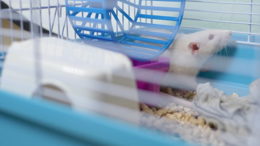 White rat in a cage. home pet. animal symbol of the year on the Chinese calendar. | Shutterstock HD Video #1039107155