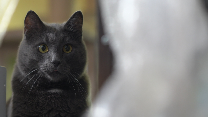 Indoor gray cat with eyes wide open stalking during game in the room. | Shutterstock HD Video #1039199375