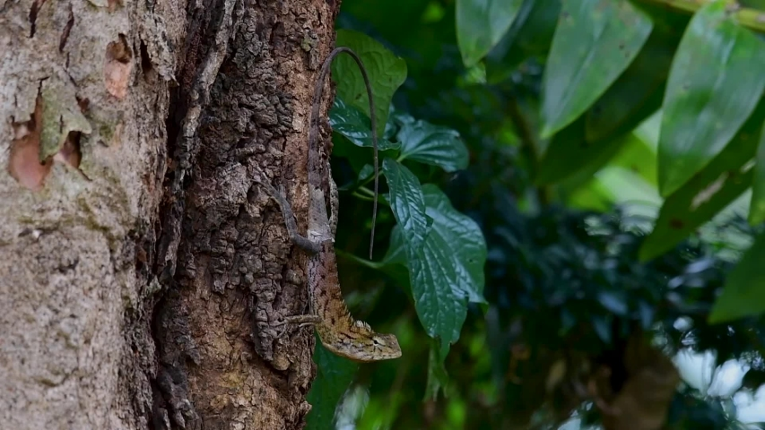 The Oriental Garden Lizard is also called the Eastern Garden Lizard, Bloodsucker and Changeable Lizard; it has the ability to change its colours according to its lifecycle and can be commonly found. | Shutterstock HD Video #1039279655