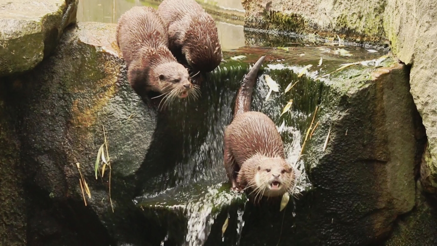 Three otters screaming at the river. | Shutterstock HD Video #1039284005