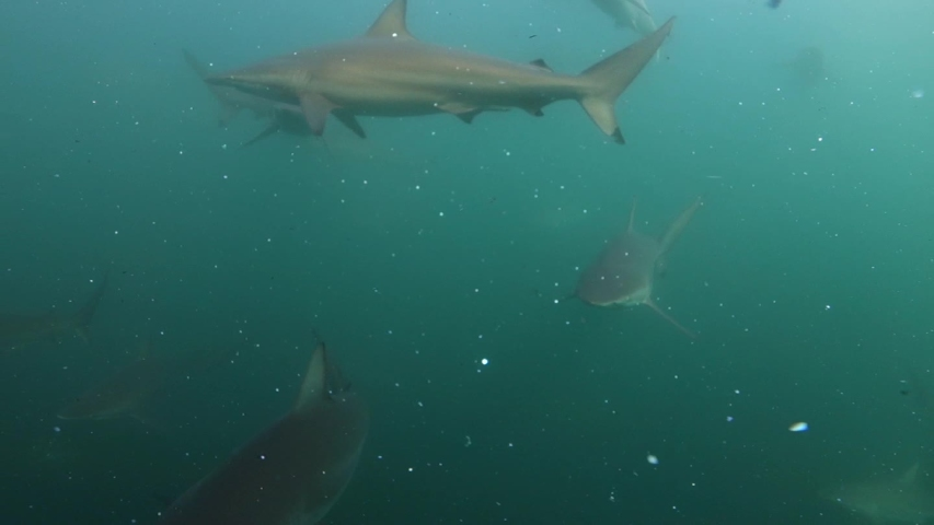 Underwater footage of many spinner sharks on a massive baitball off Port St Johns, Soutf Africa.  | Shutterstock HD Video #1039305035