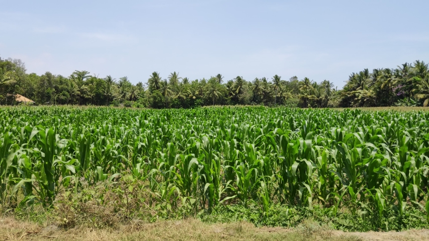 Green corn fields with the wind blowing in the farm garden, blue sky during the day. | Shutterstock HD Video #1039412795