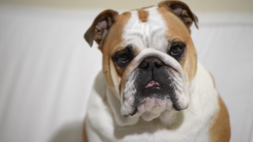 Closeup of bulldog while he sleeps at home on the sofa | Shutterstock HD Video #1040046875