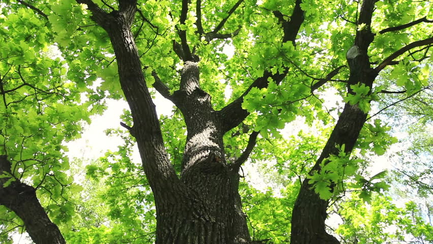 Vertical Panoramic Scene Of Oak Tree. Bottom View Of Beautiful ...