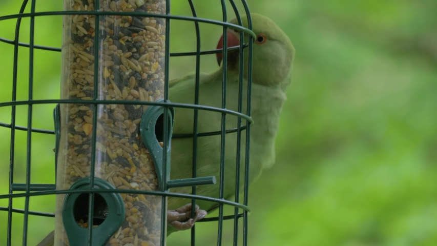 Close-up green tropical parrot near the feeding trough. Green parrot climbs a feeding trough in the garden. A beautiful ring-necked, or rose-ringed Parakeet feeding from a seed feeder. | Shutterstock HD Video #1041229315