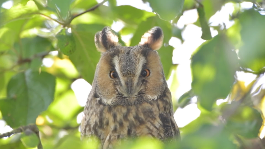 Long-eared owl (Asio otus) sitting high up in an apple tree with green colored leafs during a fall day.   Shutterstock HD Video #1041461575