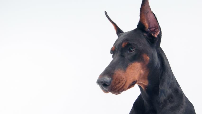Resultado de imagen para doberman barking
