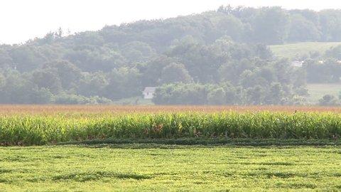 Crop duster spraying cornfield.