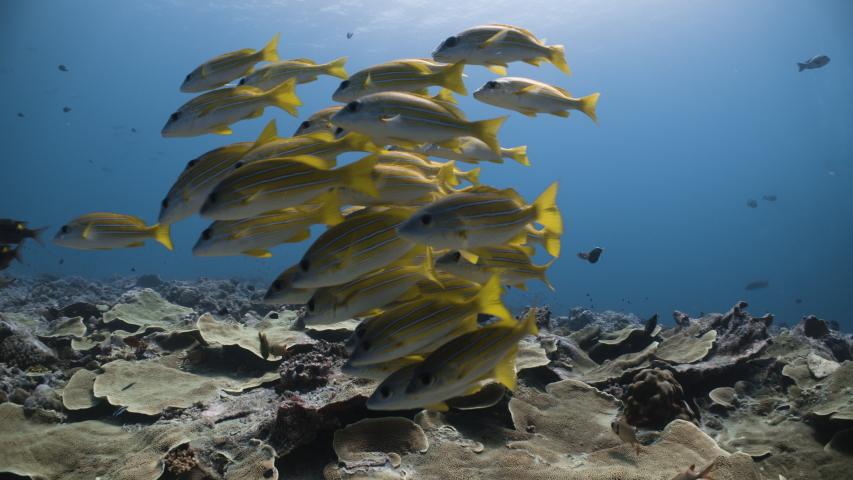 School of yellow fish swim towards camera in tropical underwater setting | Shutterstock HD Video #1044780685
