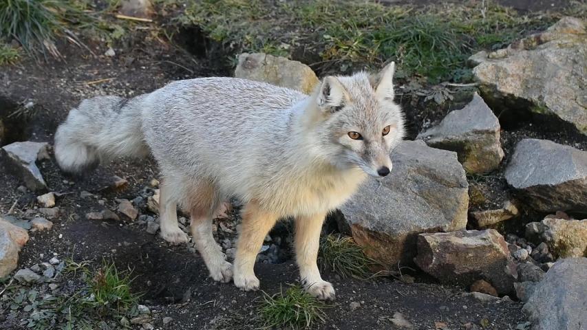 Corsac fox (Vulpes corsac) on alert | Shutterstock HD Video #1044825205