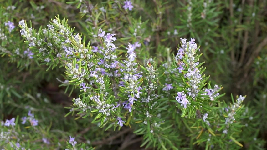 Growing rosemary with beautiful flowers | Shutterstock HD Video #1044964105